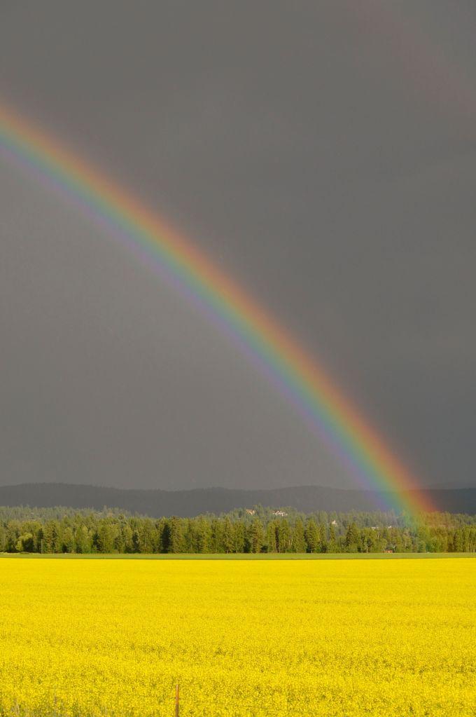 rainbow&canola