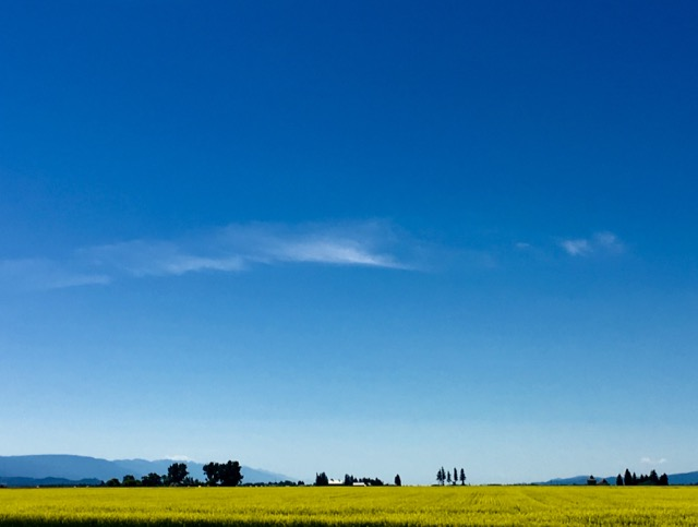 canola fields - 1