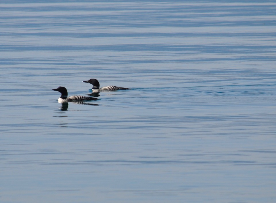 loons - 1